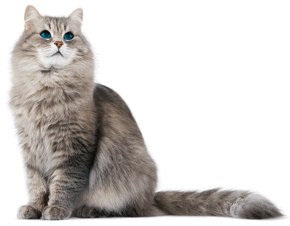 Cat-PNG-HD